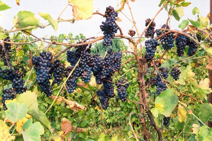 Pinot Noir Grape Vitis At Moana Nursery