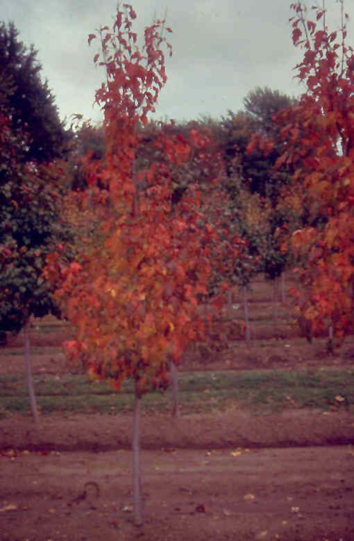 Beethoven Amur Maple Acer Ginnala Beethoven In Reno