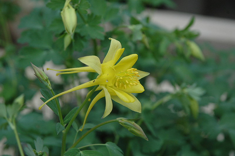 Denver Gold Columbine (Aquilegia Chrysantha U0027Denver Goldu0027) At Moana Nursery