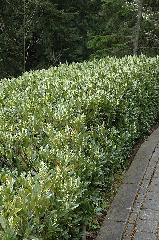 Otto Luyken Dwarf Cherry Laurel Prunus Laurocerasus Otto