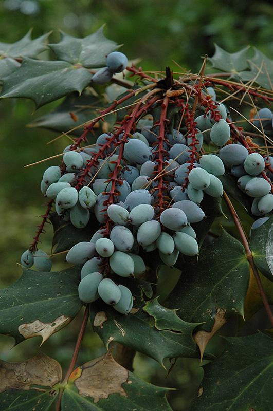 Oregon Grape Mahonia Aquifolium At Moana Nursery Fruit