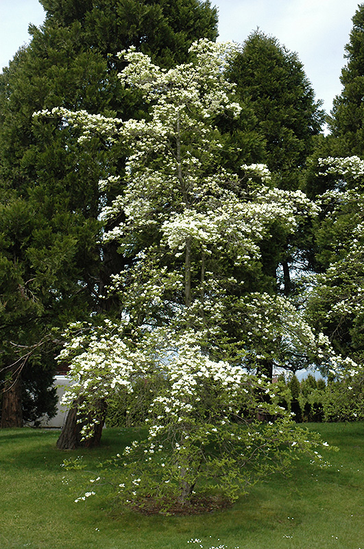 Eddies white wonder flowering dogwood cornus eddies white wonder eddies white wonder flowering dogwood cornus eddies white wonder at moana nursery mightylinksfo