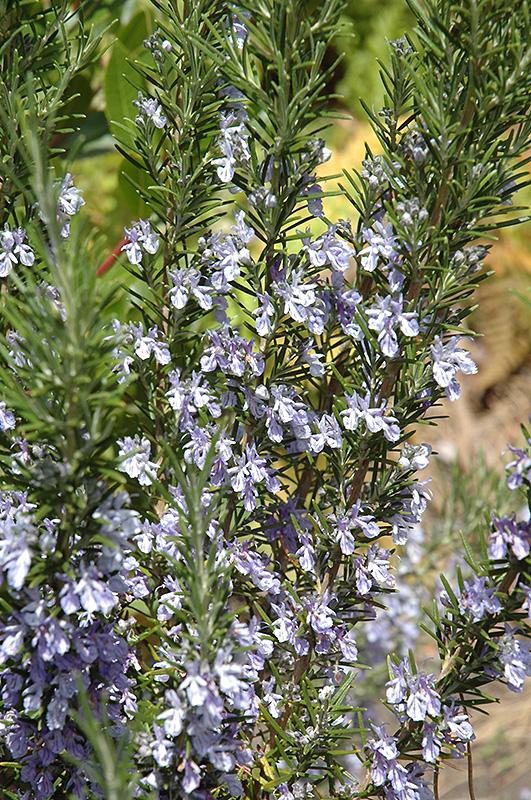 Rosemary (Rosmarinus officinalis) in Reno Sparks Lake ...