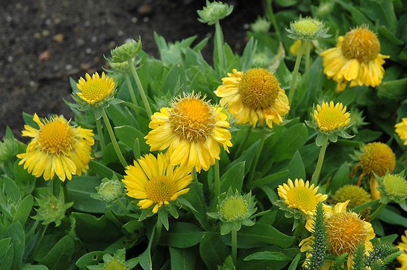 Mesa Yellow Blanket Flower Gaillardia X Grandiflora At Moana Nursery