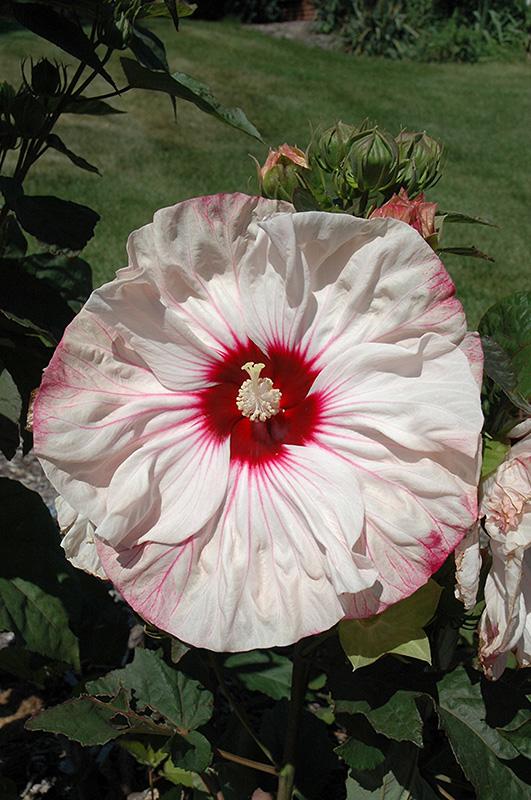 Cherry Cheesecake Hibiscus Hibiscus Cherry Cheesecake In Reno