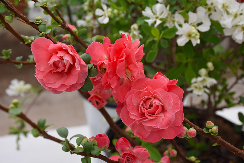 double take pink storm flowering quince  chaenomeles