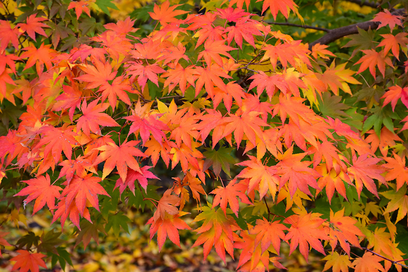Japanese Maple Acer Palmatum In Reno Sparks Lake Tahoe Carson City