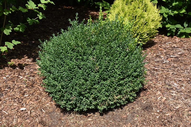 North Star Boxwood Buxus Sempervirens