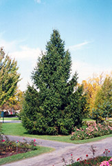 Norway Spruce (Picea abies) at Moana Nursery