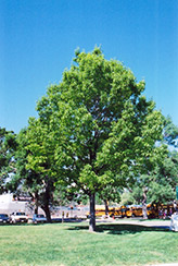 Red Oak (Quercus rubra) at Moana Nursery