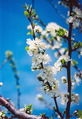 Mount Royal Plum (Prunus 'Mount Royal') at Moana Nursery