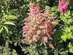Country and Western Astilbe (Astilbe 'Country And Western') at Moana Nursery