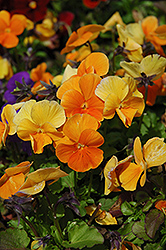 Penny Orange Pansy (Viola cornuta 'Penny Orange') at Moana Nursery