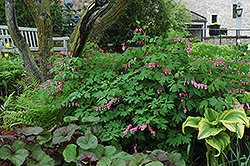 Common Bleeding Heart (Dicentra spectabilis) at Moana Nursery