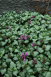 Red Nancy Spotted Dead Nettle (Lamium maculatum 'Red Nancy') at Moana Nursery
