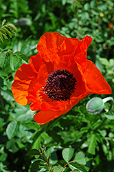 Allegro Poppy (Papaver orientale 'Allegro') at Moana Nursery