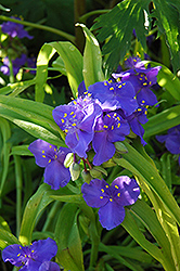 Sweet Kate Spiderwort (Tradescantia x andersoniana 'Sweet Kate') at Moana Nursery