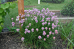 Chives (Allium schoenoprasum) at Moana Nursery