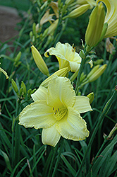 Happy Returns Daylily (Hemerocallis 'Happy Returns') at Moana Nursery