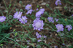 Butterfly Blue Pincushion Flower (Scabiosa 'Butterfly Blue') at Moana Nursery