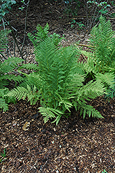 Lady Fern (Athyrium filix-femina) at Moana Nursery