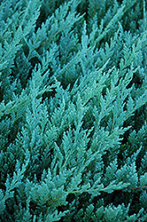 Blue Chip Juniper (Juniperus horizontalis 'Blue Chip') at Moana Nursery