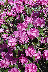 P.J.M. Rhododendron (Rhododendron 'P.J.M.') at Moana Nursery
