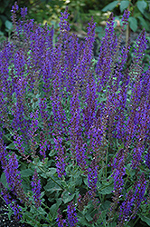 May Night Sage (Salvia x sylvestris 'May Night') at Moana Nursery