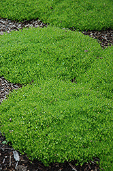 Irish Moss (Sagina subulata) at Moana Nursery