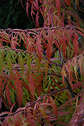 Tiger Eyes Sumac (Rhus typhina 'Bailtiger') at Moana Nursery