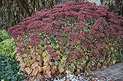 Matrona Stonecrop (Sedum 'Matrona') at Moana Nursery