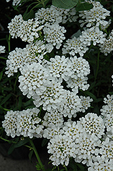 Alexander White Candytuft (Iberis sempervirens 'Alexander White') at Moana Nursery