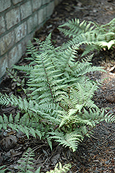 Ghost Fern (Athyrium 'Ghost') at Moana Nursery