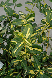 Blondy® Wintercreeper (Euonymus fortunei 'Interbolwi') at Moana Nursery