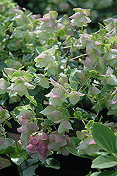 Kent Beauty Oregano (Origanum rotundifolium 'Kent Beauty') at Moana Nursery