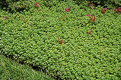 John Creech Stonecrop (Sedum spurium 'John Creech') at Moana Nursery