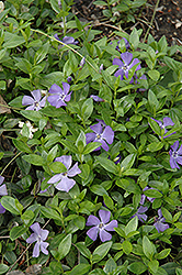 Common Periwinkle (Vinca minor) at Moana Nursery