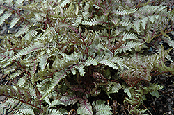 Red Beauty Painted Fern (Athyrium nipponicum 'Red Beauty') at Moana Nursery