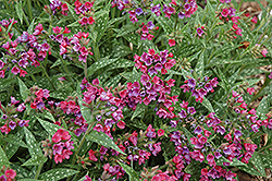 Raspberry Splash Lungwort (Pulmonaria 'Raspberry Splash') at Moana Nursery