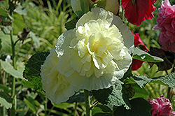 Chater's Double Yellow Hollyhock (Alcea rosea 'Chater's Double Yellow') at Moana Nursery