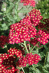 Red Velvet Yarrow (Achillea millefolium 'Red Velvet') at Moana Nursery