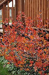 Autumn Magic Black Chokeberry (Aronia melanocarpa 'Autumn Magic') at Moana Nursery