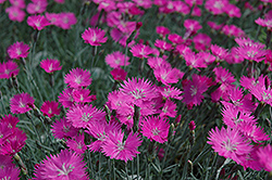 Firewitch Pinks (Dianthus gratianopolitanus 'Firewitch') at Moana Nursery
