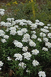 Purity Candytuft (Iberis sempervirens 'Purity') at Moana Nursery