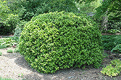 Japanese Boxwood (Buxus microphylla 'var. japonica') at Moana Nursery