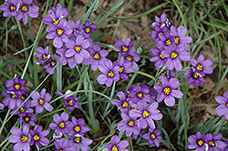 Lucerne Blue-Eyed Grass (Sisyrinchium angustifolium 'Lucerne') at Moana Nursery