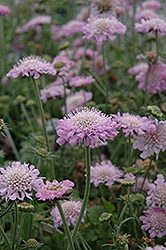 Pink Mist Pincushion Flower (Scabiosa 'Pink Mist') at Moana Nursery