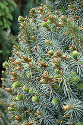 Papoose Dwarf Sitka Spruce (Picea sitchensis 'Papoose') at Moana Nursery