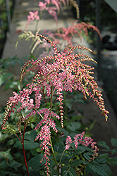 Ostrich Plume Astilbe (Astilbe x arendsii 'Ostrich Plume') at Moana Nursery