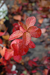 Purpleleaf Wintercreeper (Euonymus fortunei 'Coloratus') at Moana Nursery